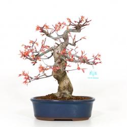 Acer palmatum saigen - Acero - 33 cm