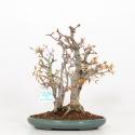 Acer palmatum - acero - 26 cm
