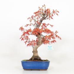 Acer palmatum Saigen - Maple - 40 cm