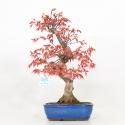 Acer palmatum Saigen - Acero - 40 cm