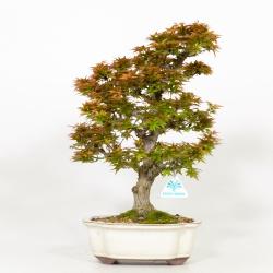 Acer palmatum kotohime - Acero - 41 cm