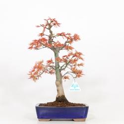 Acer palmatum saigen - Acero - 37 cm