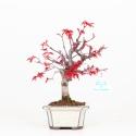Acer palmatum deshojo - Maple - 25 cm