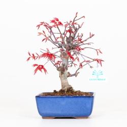 Acer palmatum deshojo - Acero - 27 cm