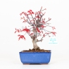 Acer palmatum deshojo - Erable - 27 cm