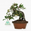 Elaeagnus pungens - Silverthorn - 21 cm