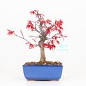 Acer palmatum deshojo - Erable - 26 cm