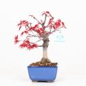 Acer palmatum deshojo - Maple - 26 cm