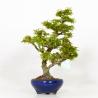 Acer palmatum kotohime - Acero - 43 cm