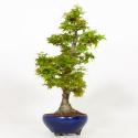 Acer palmatum kotohime - Maple - 43 cm