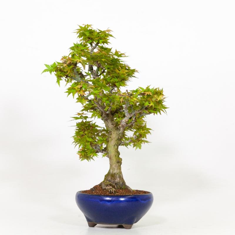 Acer palmatum kotohime - érable - 43 cm