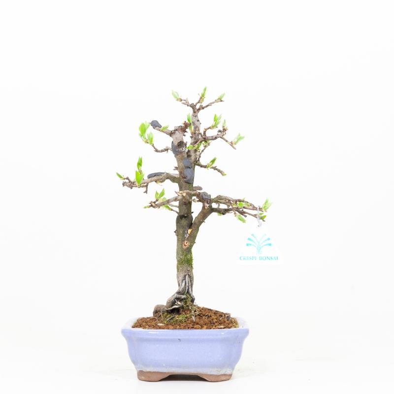Diospyros kaki - Cachi - 29 cm
