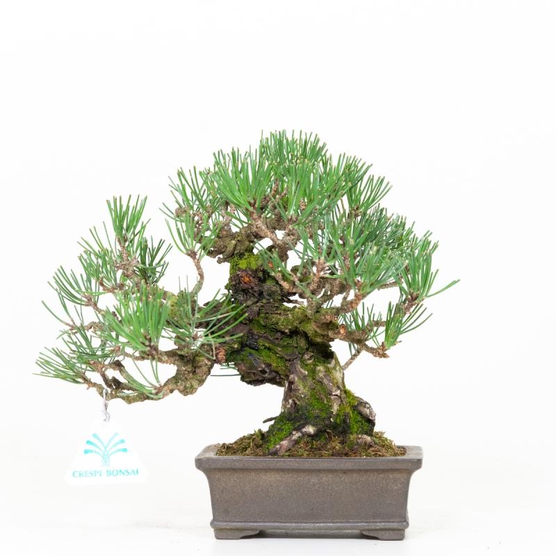 Pinus thunbergii - Pino - 25 cm