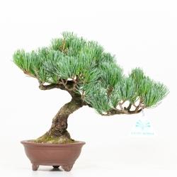 Pinus pentaphylla - Pine - 27 cm