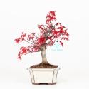 Acer palmatum deshojo - Acero - 25 cm
