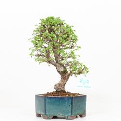 Ulmus parviflora - Olmo - 29 cm