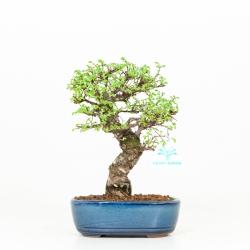 Ulmus parviflora - Olme - 26 cm