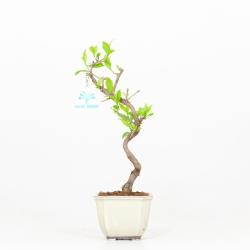 Callicarpa japonica - 32 cm