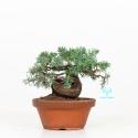 Juniperus rigida - 19 cm
