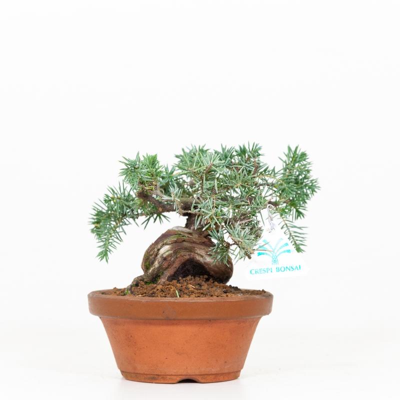 Juniperus rigida - Ginepro - 19 cm
