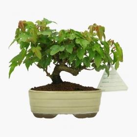 Acer buergerianum - acero - 9 cm