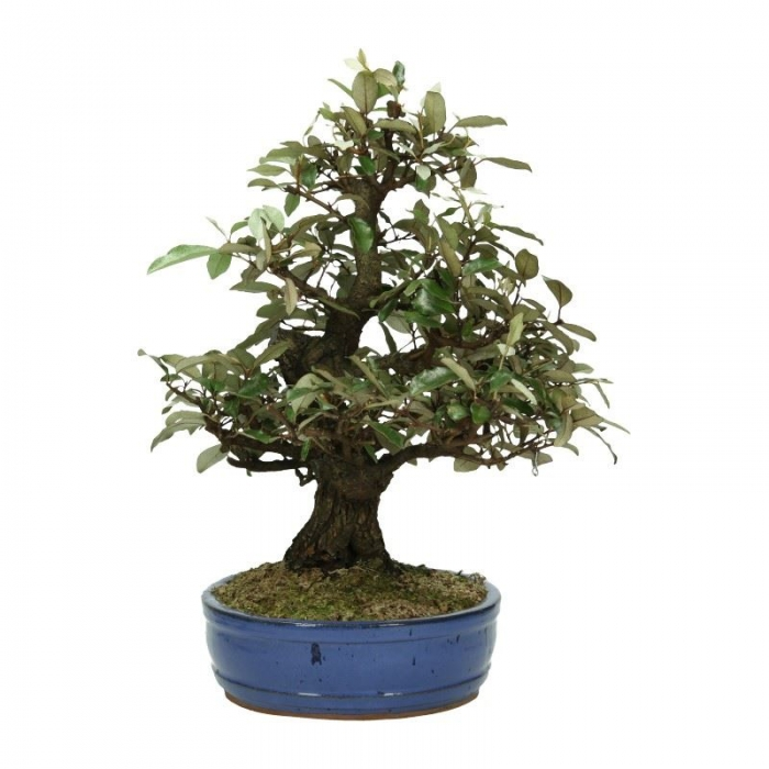 Elaeagnus pungens - Olivagno pungente - 48 cm
