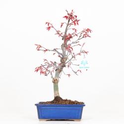 Acer palmatum deshojo - Erable - 38 cm