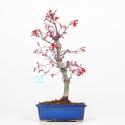 Acer palmatum deshojo - Acero - 38 cm