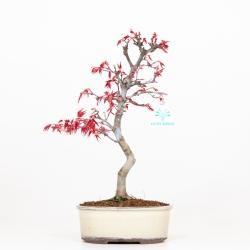 Acer palmatum deshojo - Maple - 35 cm