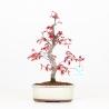 Acer palmatum deshojo - Acero - 30 cm