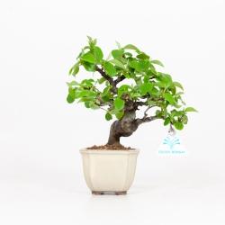 Cydonia chinensis - Cognassier - 19 cm
