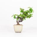 Cydonia chinensis - Quince - 19 cm