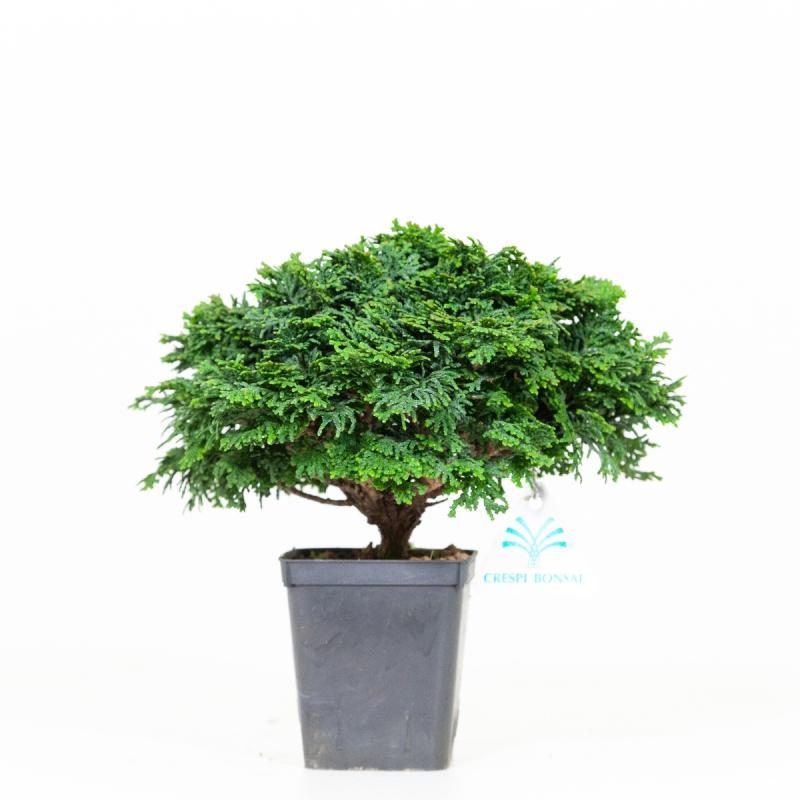 Chamaecyparis obtusa - 21 cm