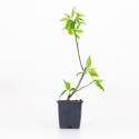 Prunus mume albaplena - 33 cm