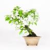 Malus - Apple tree - 28 cm