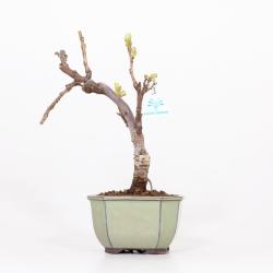 Wisteria floribunda - Glicine - 35 cm