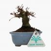 Acer palmatum - maple - 11 cm