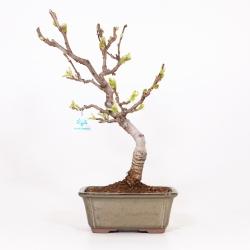 Wisteria floribunda - Wisteria - 49 cm
