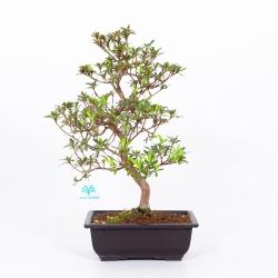 Azalée Aiko - 41 cm