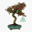 Euonymus - Spindle - 18 cm