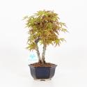 Acer palmatum viridis - acero - 27 cm