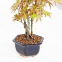 Acer palmatum viridis - maple - 27 cm