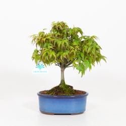 Acer Palmatum Kiohimei - Maple - 26 cm