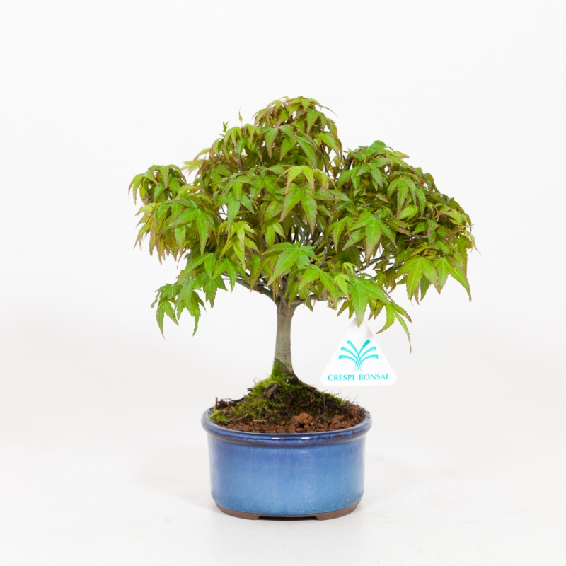 Acer Palmatum Kiohimei - Érable - 26 cm