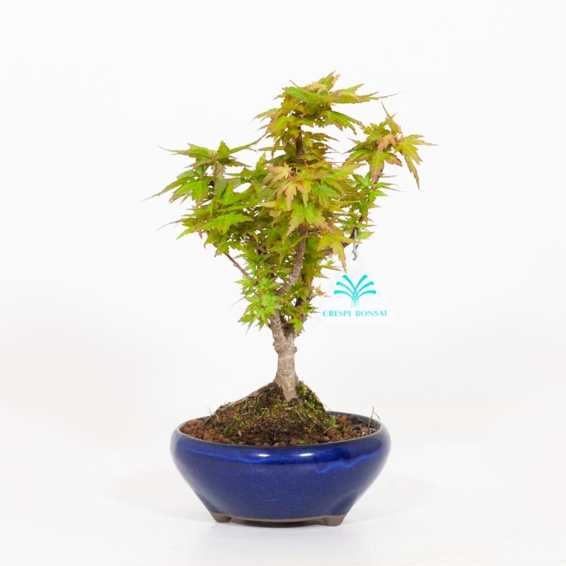 Acer palmatum kotohime - Maple - 25 cm