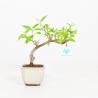 Callicarpa japonica - 22 cm