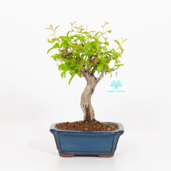 Punica granatum - Pomegranate - 25 cm