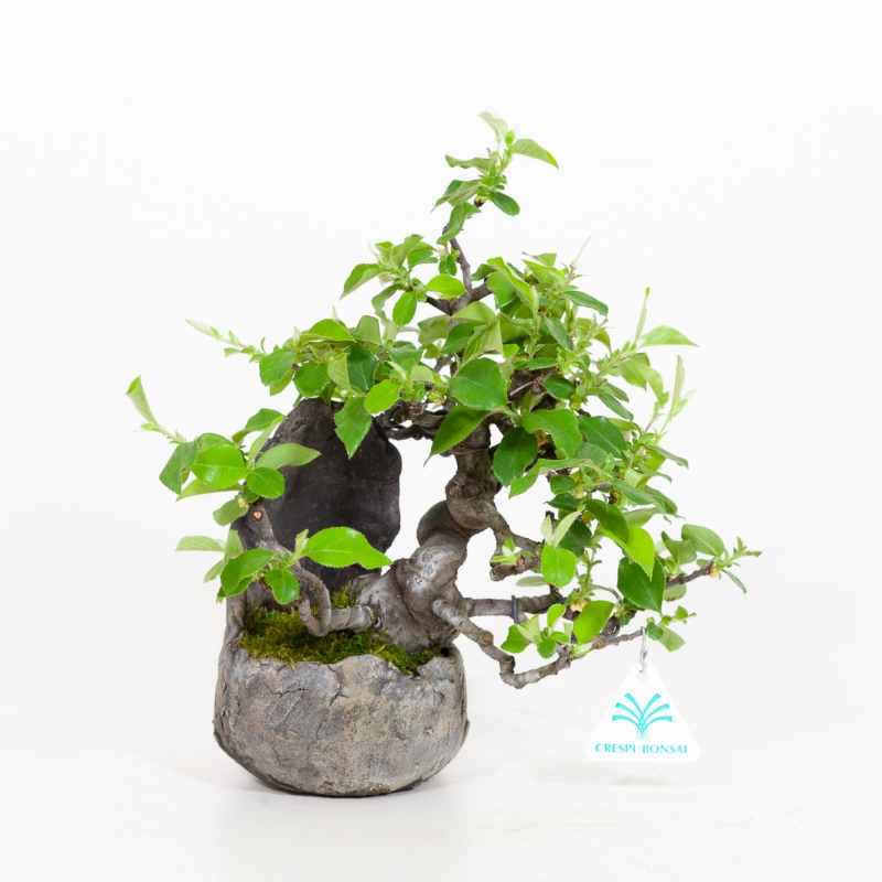Pseudocydonia chinensis - Quince - 25 cm