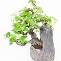 Pseudocydonia chinensis - Cognassier - 25 cm