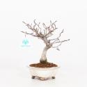 Fagus crenata - Faggio - 22 cm